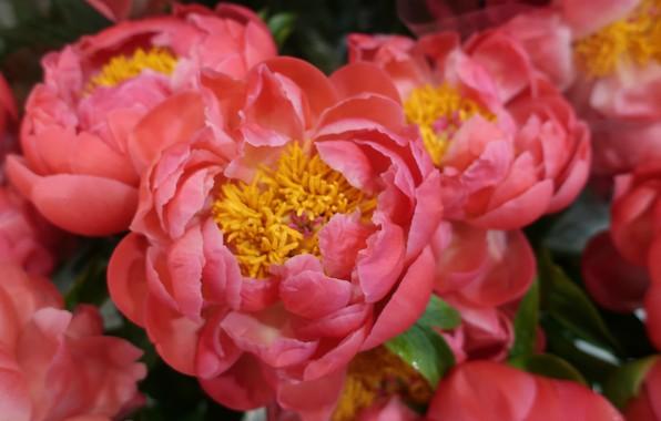 Картинка макро, розовые, пионы