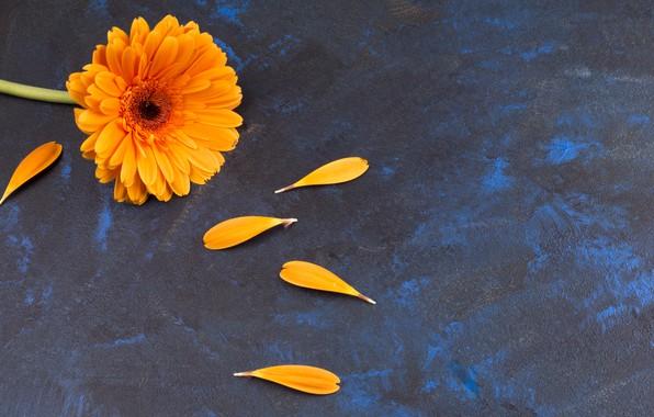 Картинка цветок, фон, гербера, леписток