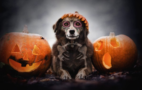 Картинка осень, взгляд, морда, фон, праздник, череп, собака, кости, скелет, тыквы, лежит, хеллоуин, рожи, грим, светильник …