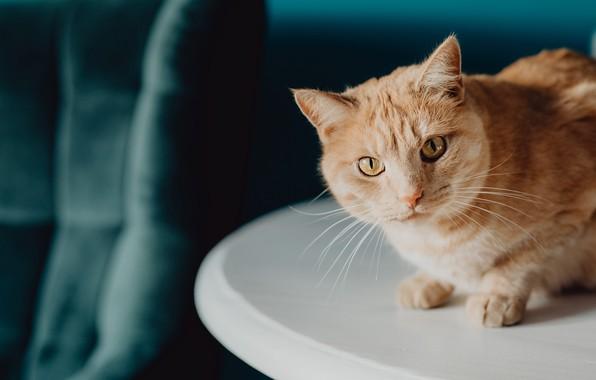 Картинка кошка, белый, кот, взгляд, свет, поза, темный фон, стол, портрет, котик, рыжий, ткань, шторы, сидит, …