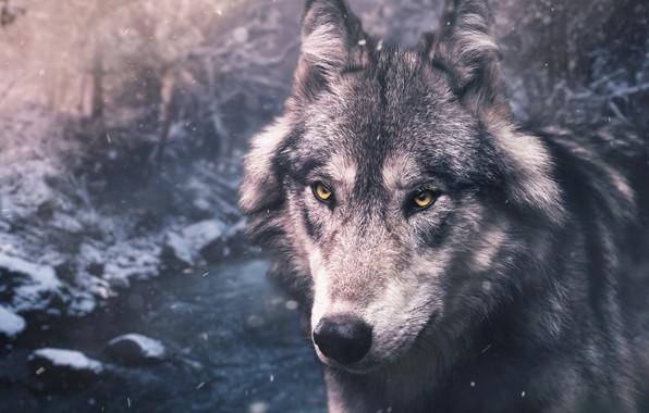 Картинка зима, лес, глаза, взгляд, морда, снег, природа, серый, волк, портрет, красавец
