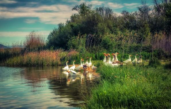 Картинка птицы, река, камыш, гуси