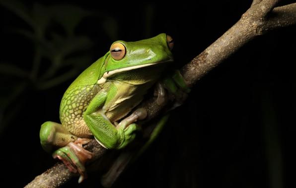 Картинка природа, лягушка, White-lipped Tree frog