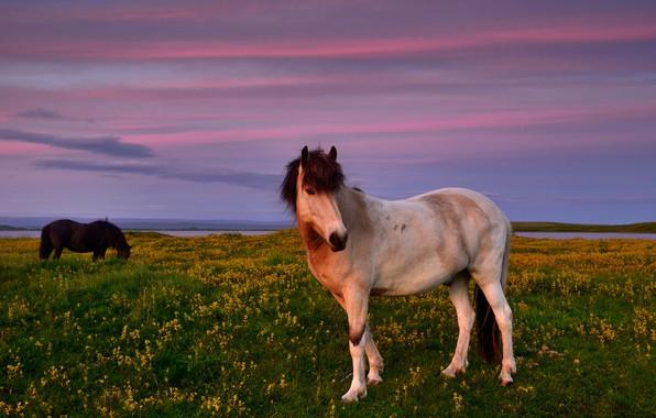 Картинка поле, белый, лето, небо, пейзаж, закат, цветы, природа, конь, лошадь, кони, вечер, желтые, лошади, пастбище, ...