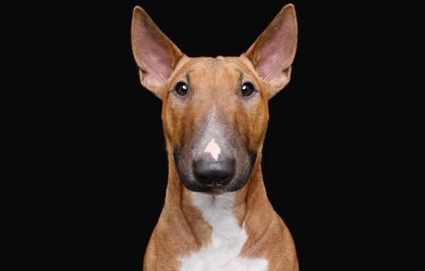 Картинка портрет, собака, чёрный фон, бультерьер, тёмный фон