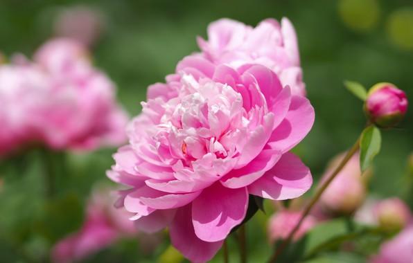 Картинка макро, розовые, боке, пионы