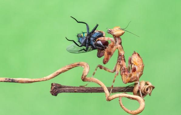 Картинка макро, муха, фон, богомол, насекомое