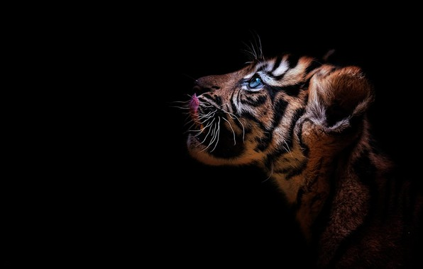 Картинка взгляд, тигр, портрет, профиль, детёныш, котёнок, мордашка, дикая кошка, чёрный фон, тигрёнок
