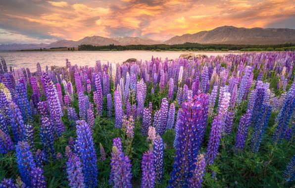 Картинка поле, облака, цветы, горы, берег, поляна, луг, водоем, много, цветочное поле, сиреневые, люпины