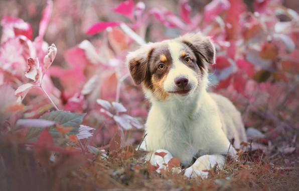Картинка трава, взгляд, собака, щенок, Австралийская овчарка, Аусси