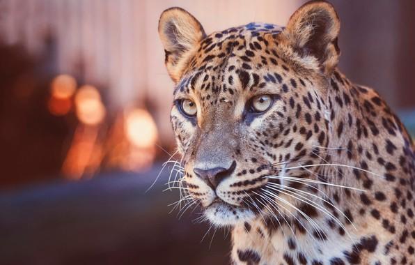 Картинка взгляд, морда, огни, фон, портрет, леопард, дикая кошка, боке, размытый