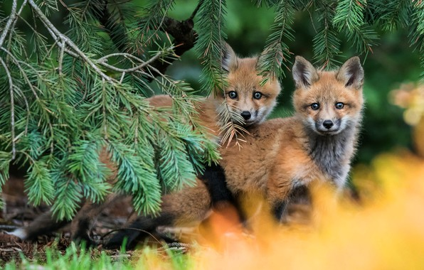Картинка лес, ветки, природа, поза, фон, пара, малыши, рыжие, парочка, хвоя, дуэт, два, мордашки, лисенок, лисёнок, …