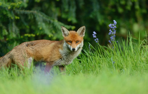 Картинка зелень, лес, лето, трава, взгляд, цветы, ветки, природа, поляна, ели, мордочка, лиса, рыжая, прогулка, лисица