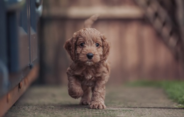 Картинка фон, собака, щенок