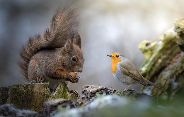 Картинка природа, животное, птица, орех, белка, пенёк, грызун, робин, малиновка, зарянка, Roberto Aldrovandi