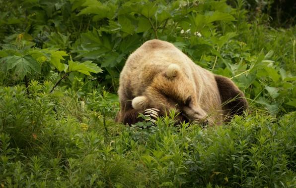 Картинка зелень, лето, трава, морда, листья, природа, поза, зеленый, фон, заросли, отдых, поляна, сон, лапы, медведь, …