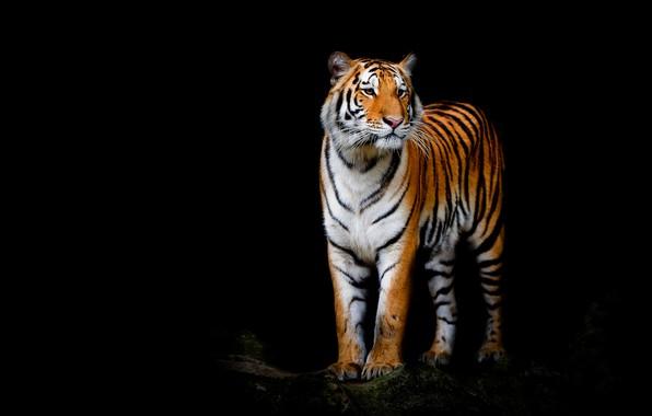 Картинка взгляд, морда, тигр, поза, лапы, стоит, черный фон, дикая кошка, красавчик, композиция