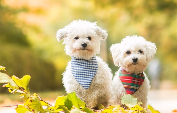 Картинка собаки, листья, природа, фон, собака, ветка, щенки, щенок, белые, парочка, болонка, болонки, модные, платочки