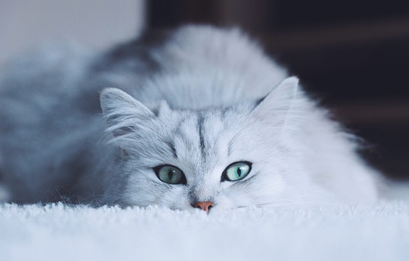 Картинка кошка, белый, глаза, кот, взгляд, морда, фон, портрет, белая