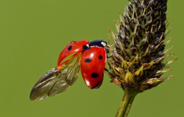Картинка макро, растение, божья коровка, крылья, жук, зеленый фон