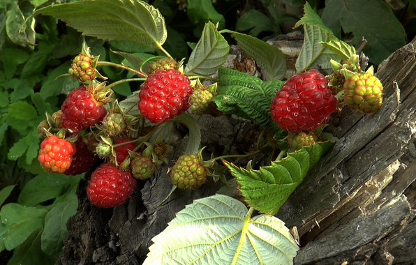 Картинка осень, ягоды, Малина