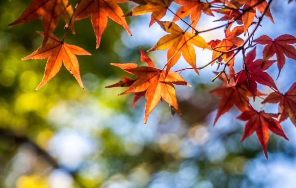 Картинка осень, листья, дерево, colorful, клен, autumn, leaves, maple