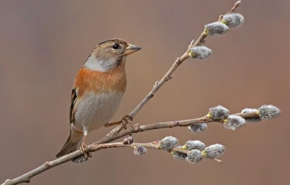 Картинка птица, ветка, весна, почки