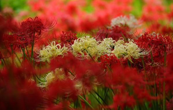 Картинка цветы, размытие, лепестки, сад, красные, белые, много, боке, ликорис, пауковая лилия