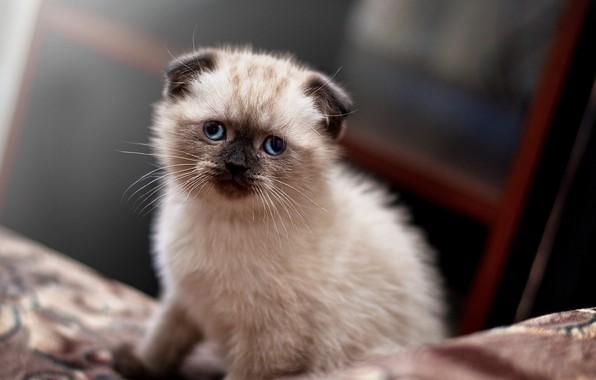 Картинка Kitten, Cute, ears, Cats, Scottish, Ragdoll, Lop-eared