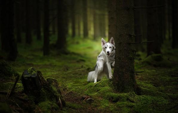 Картинка зелень, лес, деревья, ветки, природа, поза, стволы, мох, пень, собака, лапы, белая, сосны, прогулка, стоит, …