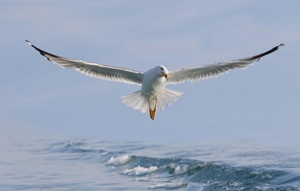 Картинка море, вода, птица, крылья, чайка, полёт