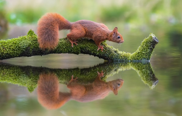 Картинка вода, природа, отражение, животное, белка, коряга, зверёк, грызун