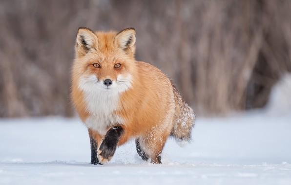 Картинка зима, снег, лиса, рыжая