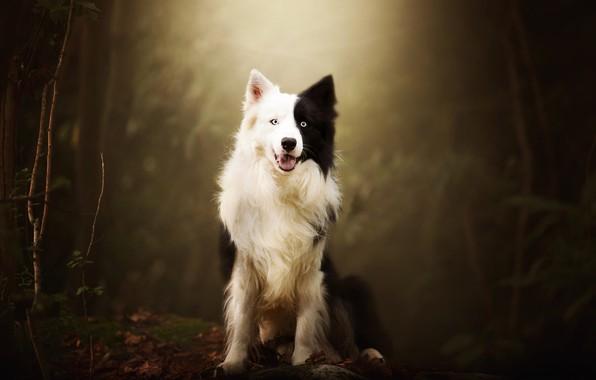 Картинка осень, лес, язык, взгляд, морда, листья, свет, ветки, природа, поза, темный фон, фон, черно-белая, собака, …
