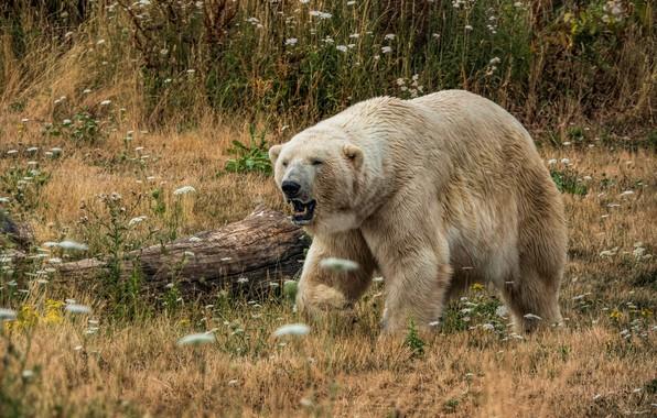 Картинка белый, трава, взгляд, морда, цветы, природа, поза, растения, мощь, медведь, мишка, пасть, прогулка, бревно, белый ...