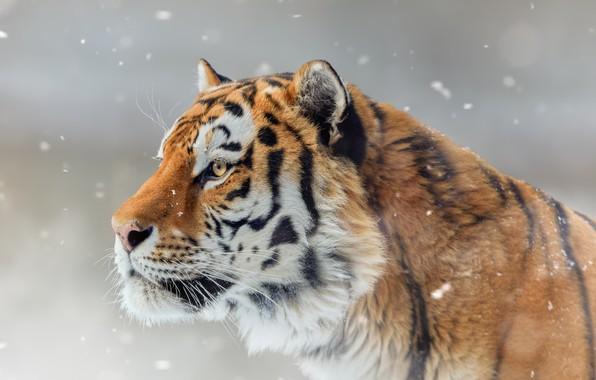 Картинка морда, снег, тигр, портрет, профиль, дикая кошка