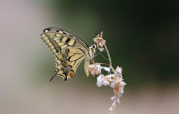 Картинка бабочка, парусник, butterfly