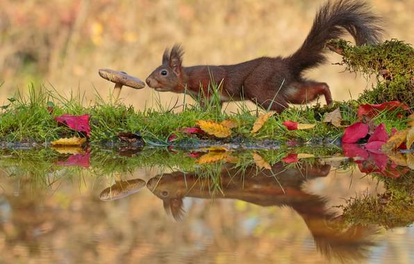 Картинка листья, вода, отражение, гриб, белка