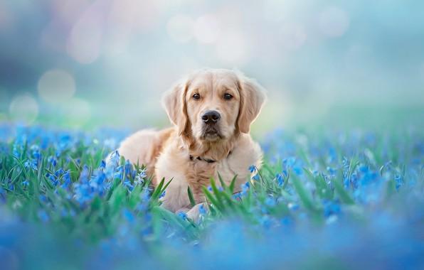 Картинка взгляд, морда, свет, цветы, природа, поза, фон, голубой, поляна, нежность, портрет, собака, весна, голубые, лежит, …