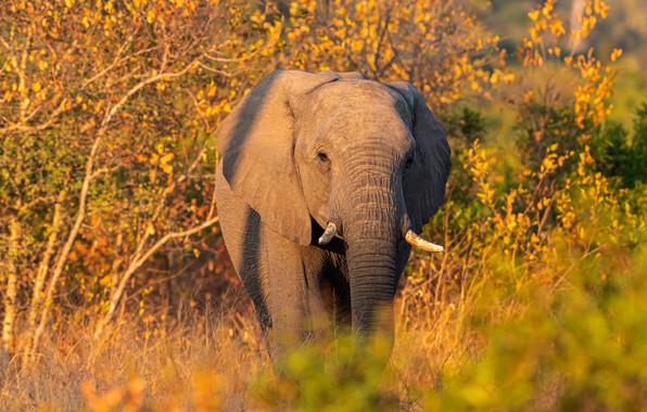 Картинка осень, взгляд, морда, свет, деревья, ветки, природа, заросли, листва, слон, тень, прогулка, кусты, желтая, хобот
