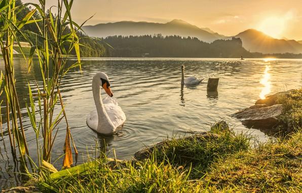 Картинка swan, river, landscape, sunset, lake, dawn