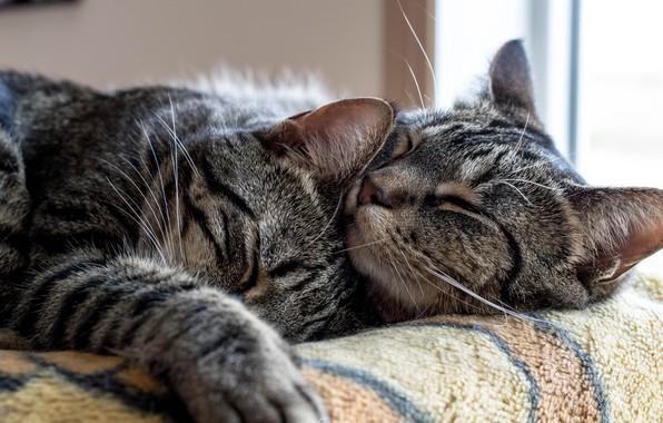 Картинка кошка, кот, любовь, кошки, поза, уют, тепло, отдых, коты, нежность, две, сон, лапы, окно, объятия, …