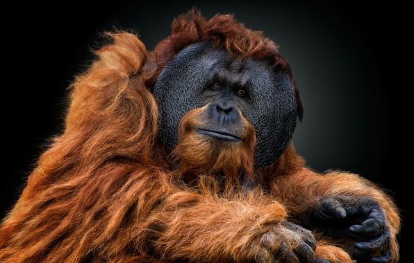 Картинка взгляд, портрет, тёмный фон, орангутан