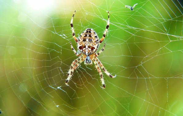 Картинка макро, муха, паутина, паук, боке