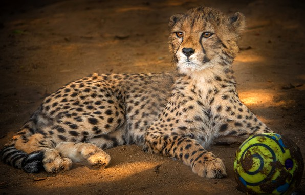 Картинка взгляд, морда, поза, фон, мяч, малыш, гепард, лежит, детеныш, дикая кошка
