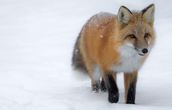 Картинка зима, взгляд, морда, снег, лиса, прогулка, снегопад