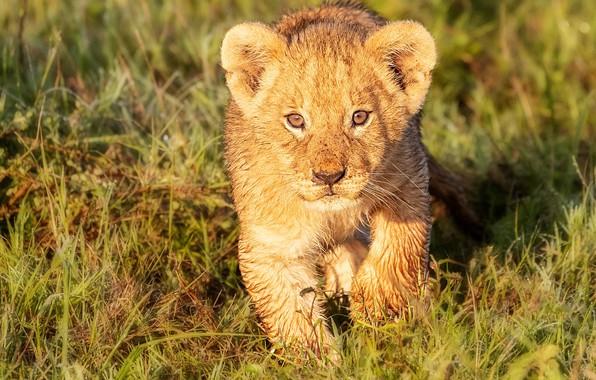 Картинка трава, взгляд, детёныш, котёнок, мордашка, дикая кошка, львёнок