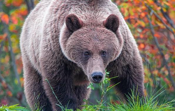 Картинка осень, лес, трава, взгляд, морда, листья, ветки, природа, поза, лапы, медведь, мишка, бурый, осенние