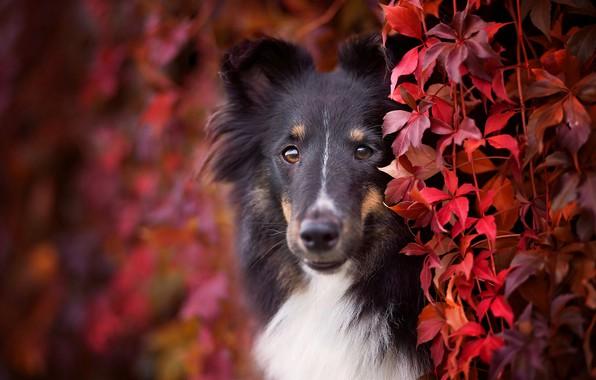 Картинка осень, взгляд, морда, листья, листва, портрет, собака, щенок, красные, черная, кусты, красочно, порода, колли, лиана, ...