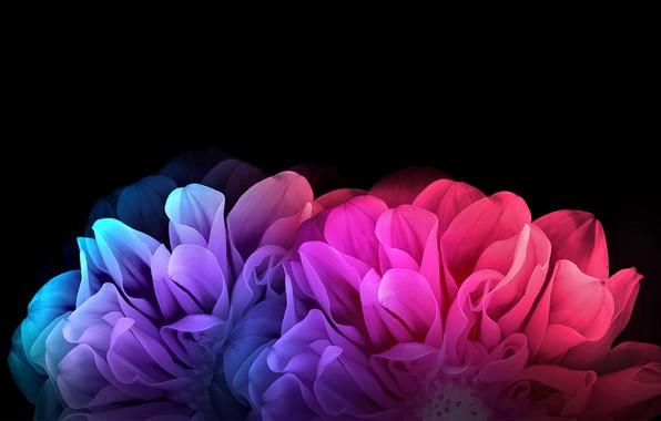 Картинка цветы, рендеринг, лепестки, черный фон, картинка, георгины, цветочная фантазия, радужные переливы